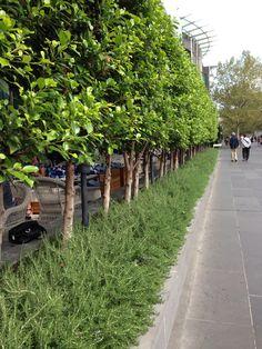 Ficus with Prostrate Rosemary below plantsfordallas.com #plantsfordallas