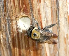 Carpenter bees often return to the nests they bored out the previous year.