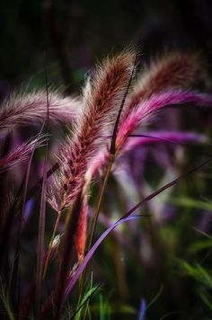 Purple fountain grass by Sirinat Tanamai