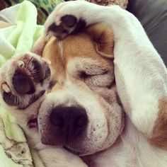 Unconscious Beagle!