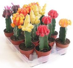 Ingertos de cactus