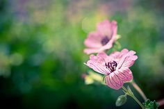 The Beauty Within Fine Art Photography Prints For Sale by Priya Ghose - Dreamy photograph featuring beautiful pink hardy geranium blooms opening up and reaching for the sun.