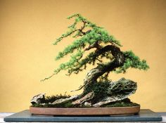 he word bonsai is most closely associated by most with the growing of miniature trees, and although this is somewhat accurate, there is a lot more to it than that. A bonsai is not a genetically overshadowed plant Bonsai Tree Types, Indoor Bonsai Tree, Plants Indoor, Indoor Gardening, Air Plants, Cactus Plants, Mini Bonsai, Ikebana, Bonsai Artificial