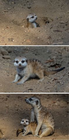 Meerkat #pup explores new habitat at the San Diego Zoo.