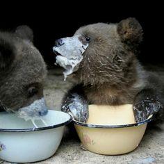 Breakfast for 2 cute bear cubs Baby Bear Cub, Bear Cubs, Baby Bears, Grizzly Bears, Teddy Bears, Tiger Cubs, Tiger Tiger, Bengal Tiger, Panda Bears