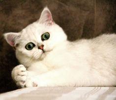 British Shorthair - Femelle Black Silver Shaded - #cat #chat #britishshorthair #animal #arthoria #bordeaux #cute #cuteness #love #arthorialovers #british #britishcat #britisharthoria #catlovers #eyes #silver #britishlovers #beautiful #cattery #chatterie #breeder #breeding #elevage