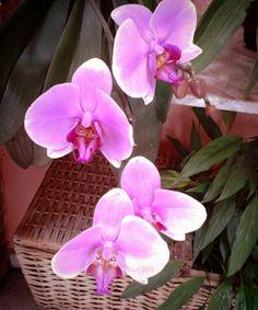 É tempo de orquídea!