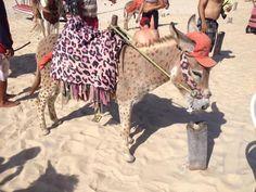 Na praia do Cumbuco, em Caucaia (CE) a 15 quilômetros de Fortaleza (CE), turistas pagam para montarem em jegues pintados nas cores de onças e zebras.