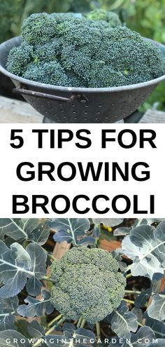 Five Tips For Growing Broccoli