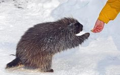 Morguefile Porcupine gets a Handout. Love Games, Games To Play, Out Of My Mind, Royalty Free Images, More Fun, Board Games, This Or That Questions, Role Playing Board Games, Tabletop Games