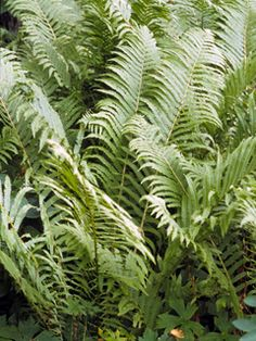 Matteuccia struthiopteris (Ostrich fern) BW resistant Fern Images, Ostrich Fern, Black Walnut Tree, Invasive Plants, Seed Bank, Fertility, Ferns, Gardening Tips, Wild Flowers