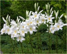 białe lilie - Szukaj w Google