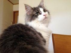 うちの猫ちゃんの目は何色なのかなぁー? ノルウェージャンフォレストキャットです  目の色が一色じゃありません。 これから変わって行くのかな?w
