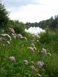 .Rohtovirmajuuri -Valeriana officinalis , jokirannan kasveja