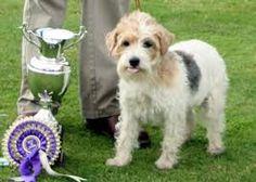 Image result for Sporting Lucas Terrier