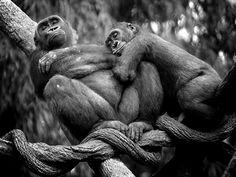 7. Une famille en plein calin et des gorilles des plaines qui font une sieste