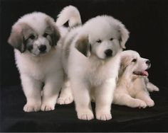 "Darlington Great Pyrenees- ""Baxter"" and ""Brittania"" puppies... Oh my... the one on the left reminds me of my sweet Moses."