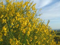 May... The ginestra is in bloom, and there are rowdy splashes of yellow wherever you look. This beautiful shrub, with bright yellow flowers that smell of honey and Sicilian white wines, is everywhere in the woods on the lower slopes of Montalcino.