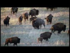 B - Buffalo  The American Bison - part two