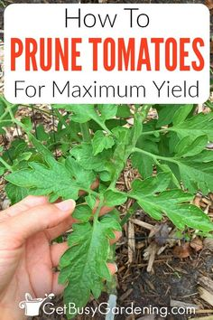 How and when to prune tomato plants, and whether you even should, is a common question among beginners. Trimming back long vines is a good idea, and it isn't difficult to learn how. I've created a guide to teach gardeners what a tomato sucker looks like, how to prune indeterminate plants (and determinate ones if you need to), and when the best time of year to tackle it is. Keep your plants from looking overgrown, and increase your yield of ripe fruit with my tips on how to prune tomatoes. Pruning Plants, Tomato Pruning, Types Of Tomatoes, Growing Tomatoes, Garden Yard Ideas, Garden Tips, Trimming Tomato Plants, Tomato Suckers, Determinate Tomatoes
