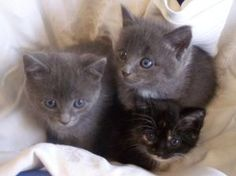 Kittens!! is an adoptable Domestic Short Hair Cat in Yadkinville, NC. Both grey kittens are male, and the Tort is a female. They are lovable, and enjoy snuggling with you. They are social and very pla...