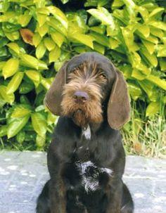 Cesky Fousek Dog, Český Fousek, Bohemian Wire-haired Pointing Griffon
