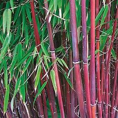 Buy Red Stemmed, Fargesia Scabrida 'Asian Wonder' Bamboo Plants With Next Day Delivery. Clump Forming, Non Invasive Red Stemmed Bamboo Plants Bamboo Plants For Sale, Bamboo In Pots, Non Invasive Bamboo, Plants Near Me, Bamboo Plant Care, Bamboo Landscape, Fargesia, Growing Bamboo, Bamboo Trellis