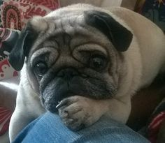 Pugster the Thinker.