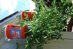 Gardening is fun and relaxing, but depending on where you live, limited space may be an issue. Gardening without room in your backyard is possible, however. All you have to do is look up! Planting vertical gardens and hanging plants are a great way to utilize unused outdoor space. Just because you don't have a huge backyard,... View Article