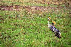 Grou-coroado (Balearica pavonina). Após a união, o casal permanece unido até que a morte os separe. A perda de habitat e a degradação ambiental colocam a espécie na categoria vulnerável na lista vermelha de animais ameaçados de extinção da IUCN (União Internacional para a Conservação da Natureza, na sigla em inglês) – Foto: Fábio Paschoal