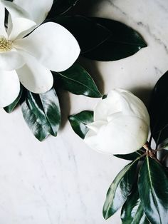 "grayskymorning: "" Magnolias 