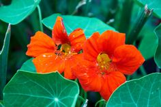 Nasturtiums. Nasturtiums are loved for their rich, saturated jewel-toned colors. They are fast and easy to grow and, in fact, do best with a little neglect. There are varieties for almost every gardening purpose: bushy plants for borders and edges, trailing plants for walls and containers and climbers to add dramatic height in a garden. The leaves and flowers are edible, with a peppery tang, and even the seed pods are used as a substitute for capers.