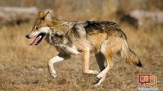 Mexican gray wolves in Southern Utah? Wildlife officials say 'no' | St George News