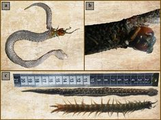 Swallowed by snake, centipede almost survives - http://www.tripletremelo.com/swallowed-snake-centipede-almost-survives/
