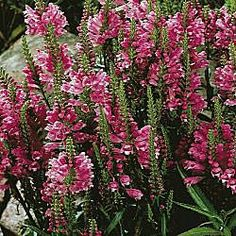 """Pink Dragon Flower Butterflies Love These Late-Summer Blooms!  Deep pink, snapdragon-like trumpets decorate 18-36"""" spikes. They'll brighten the landscape from late summer into fall. Great in any garden, showy in the border and pretty in bouquets. Watch for the butterflies! Plant 12-18"""" apart in sun to partial shade. Shipped in 3"""" pots. Physostegia virginiana   Zones: 3-9 Height: 18-36"""" Bloom Time: Midsummer to Fall"""