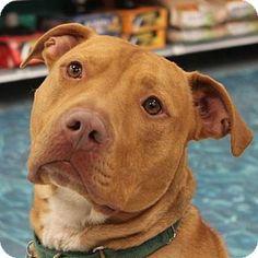 Livonia, MI - American Pit Bull Terrier Mix. Meet Beau (HP), a dog for adoption. http://www.adoptapet.com/pet/14773176-livonia-michigan-american-pit-bull-terrier-mix