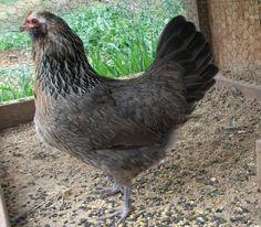 Silver Ameraucana chicken.