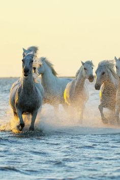 """Ancient breeds of wild Camargue horses make for a must-see attraction in the """"Wild West of France."""" - Go Wild in Western Europe's Largest River Delta Beautiful Arabian Horses, Most Beautiful Horses, Animals Beautiful, Cute Horses, Pretty Horses, Horse Love, Cute Baby Animals, Animals And Pets, Funny Animals"""