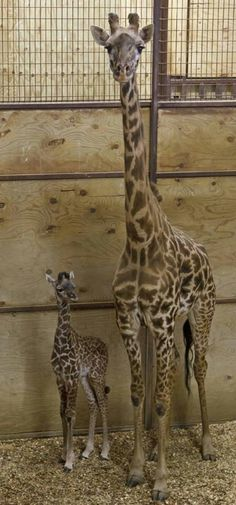 A new baby boy giraffe at the Columbus Zoo. Born Feb 1, 2014