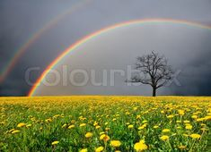 Field and dead tree under cloudy sky with rainbow Stock Photography