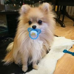 Awww this is an adorable Pomeranian #pomeranian