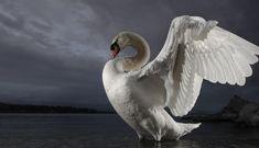 BBC - Wonder Monkey: Shooting swans - a modern tale