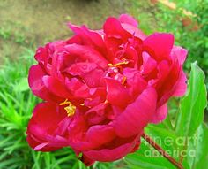 Fine Art Prints available for business use with the purchase of a RM Rights Managed License. MAGENTA PINK PEONY #prints #magenta #peony #flowers #license #rightsmangaged #reprints