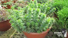 """קרסולה מנוקבת (ירוקה) Crassula perforata (green) משפחה:משפחת הטבוריתיים - Crassulaceae גובה:50-20 ס""""מ מרווחי שתילה:60-40 ס""""מ"""