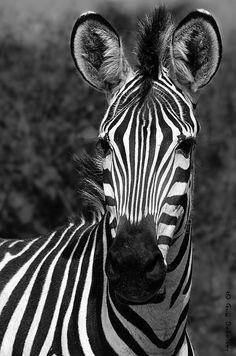 Africa   Zebra photographed in Ruaha NP, Tanzania   © Guy Dekelver