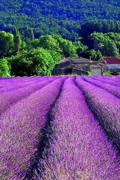 Lavender field, Provence France