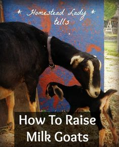 How To Raise Milk Goats | Podcast 21