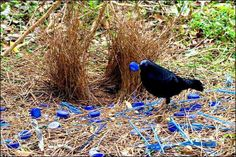 Bower Bird; collecting stuff of it's liking