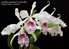 Cattleya maxima f. semi-alba - Flickr - Photo Sharing!