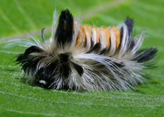 Looks more like a Yorkshire Terrier than a Milkweed Tussock Moth Caterpillar!